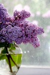 lilacs at window