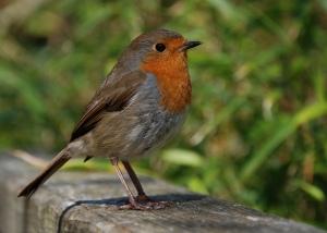 Robin at Heligan